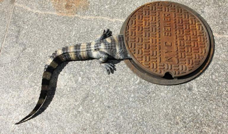 Gators in the sewers