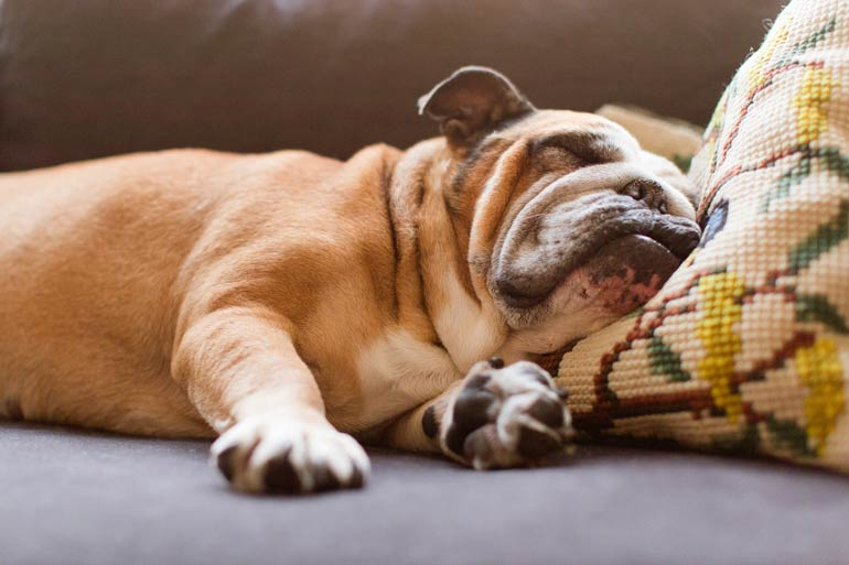 4. Bulldogs and French bulldogs