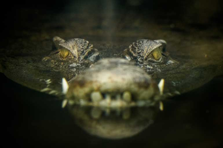If you're ever attacked by a crocodile, stick your thumb in its eye