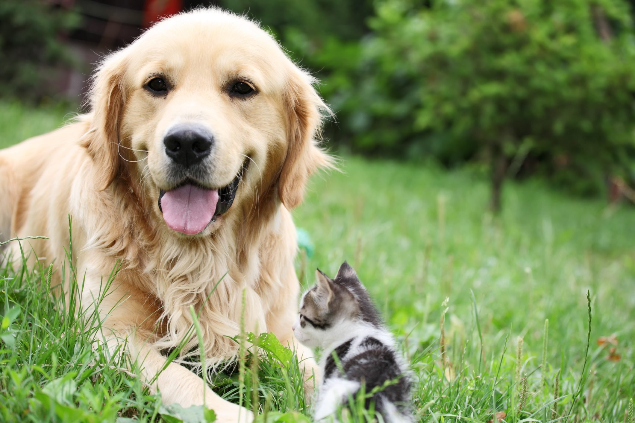 This fluffy Golden Retriever with his tiny friend