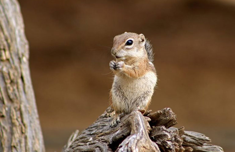 Harris's antelope squirrel, United States and Mexico